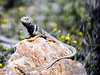 Great Basin Collared Lizard (Crotaphytus bicinctores)