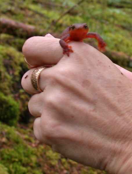 Unknown newt or salamander
