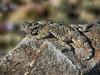 Southern Desert Horned Lizard (Phrynosoma platyrhinos calidiarum)