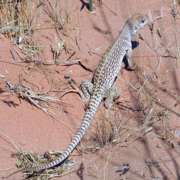 Desert Iguana (Dipsosaurus dorsalis)