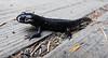 Black Salamander - Aneides flavipunctatus