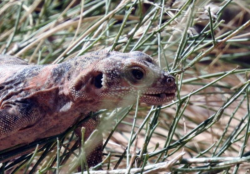 Chuckwalla - Sauromalus ater - juvenile