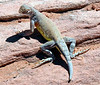 Zebra-tailed Lizard - Callisaurus draconoides
