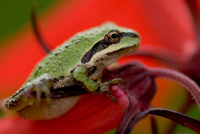 Pacific Treefrog hanging onto some Cardinal Flower.