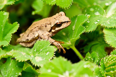 Pacific Chorus Frog on some leaves.