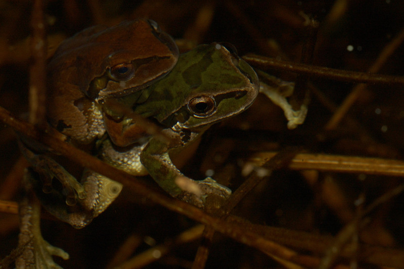 Pacific Treefrogs Amplexing. These are actually a fews inches under the water.