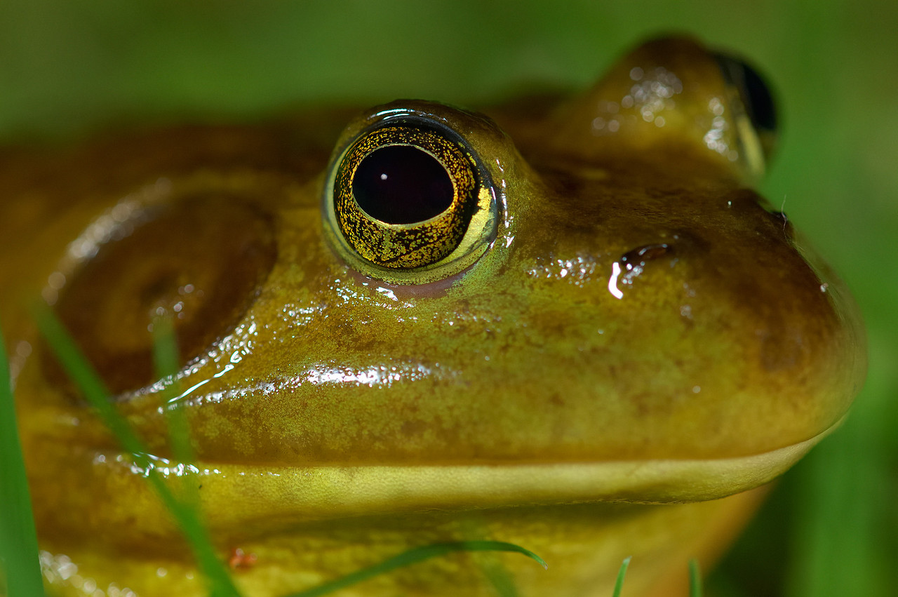 Bullfrog close up.