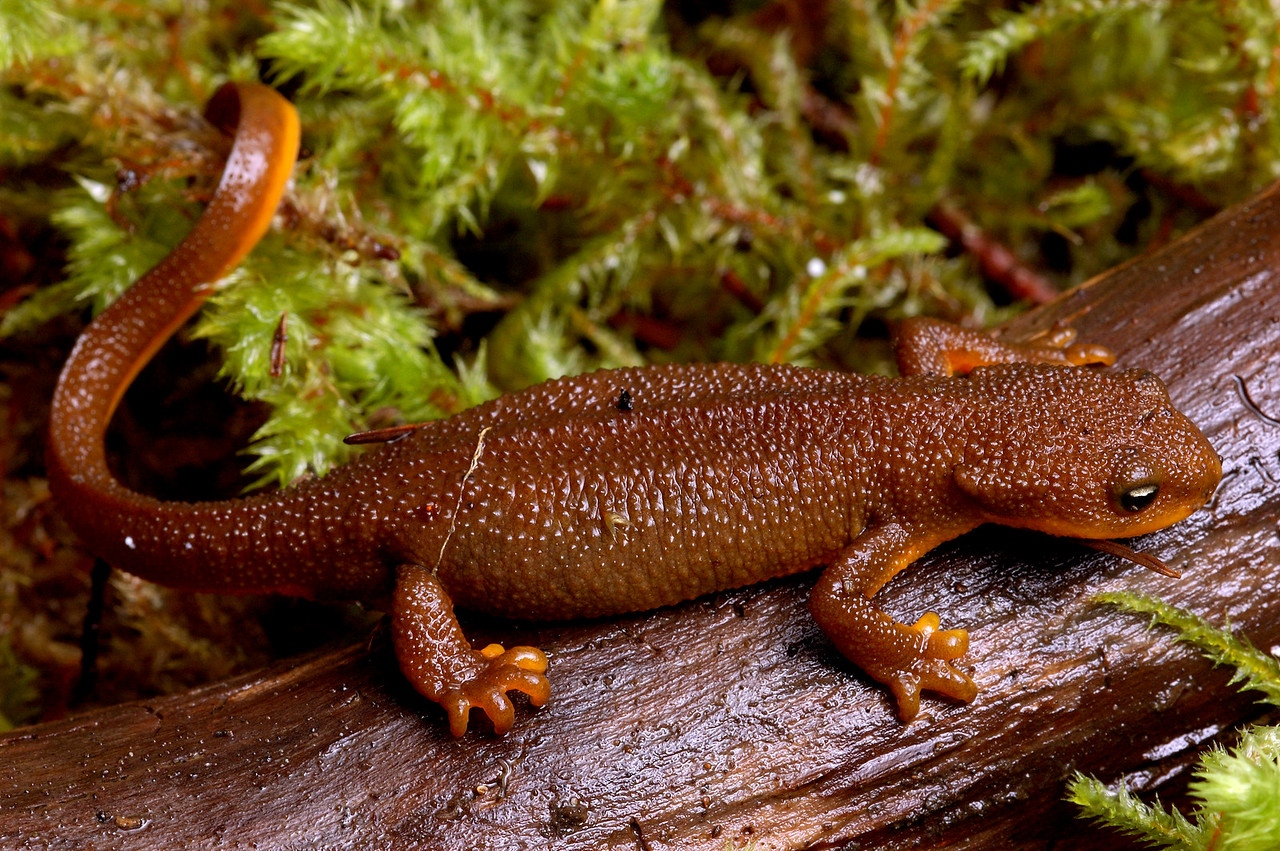 Rough-skinned Newt's are extremely poisonous, always wash hands after touching and do not eat them.