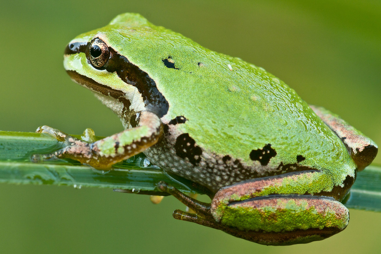 Pacific Chorus Frog on a blade of grass.