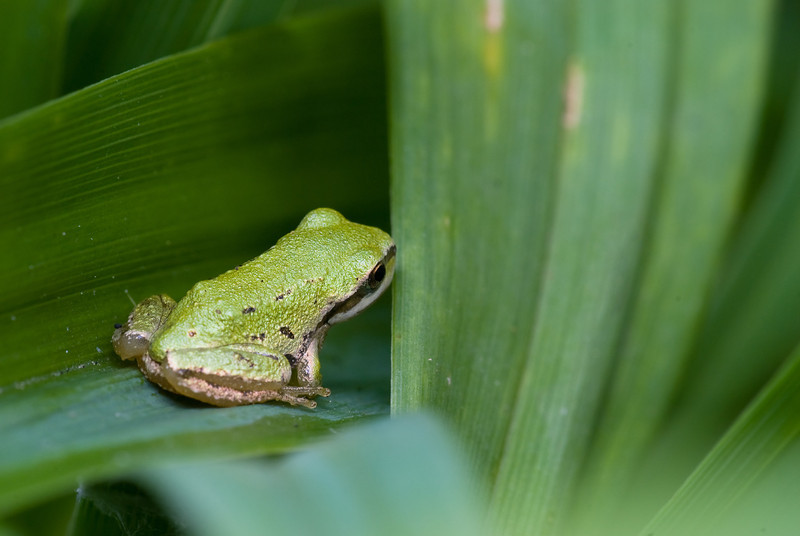 Tree frogs hunting in some grass.