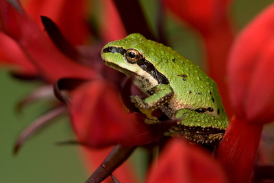 Pacific Treefrog with a red background.