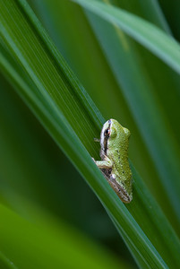 Tree frog action pose.