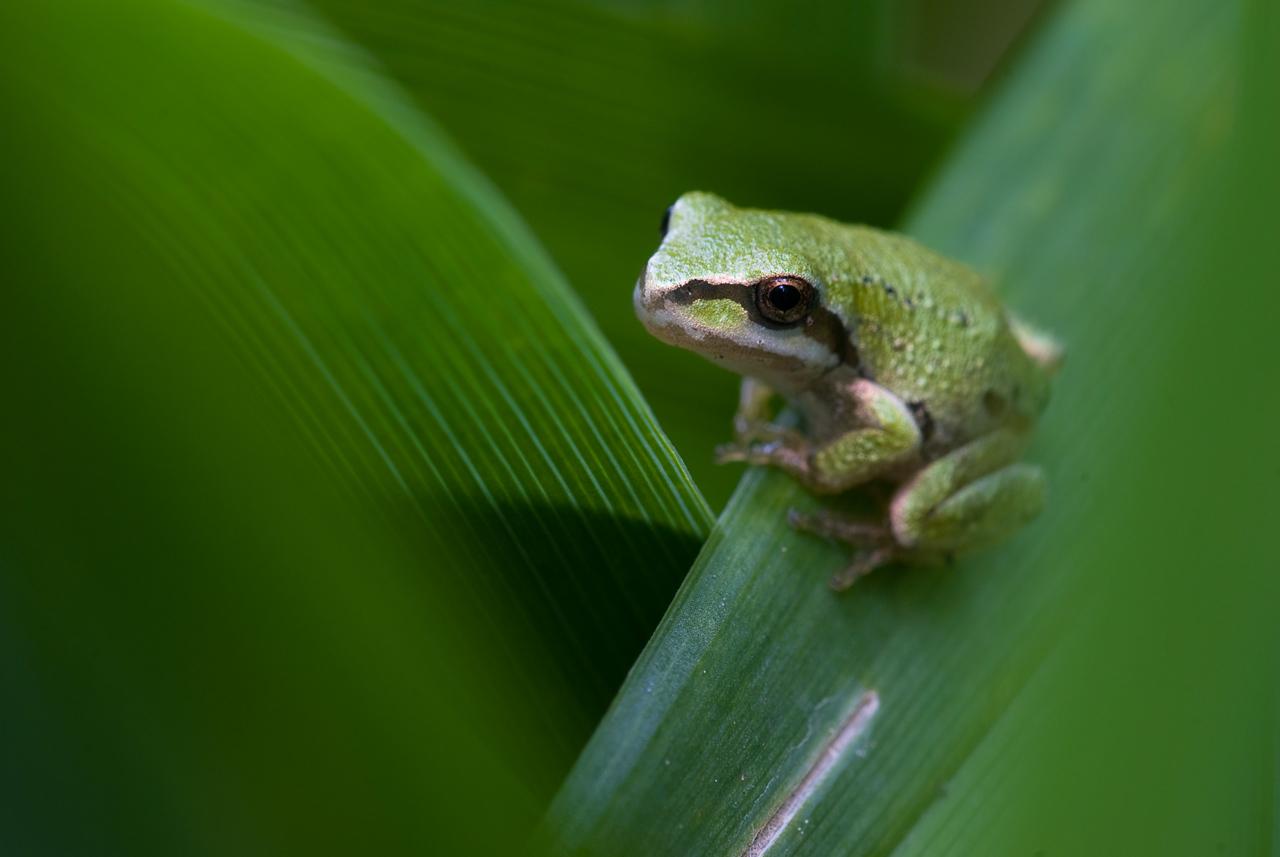 Tree frog in the garden.