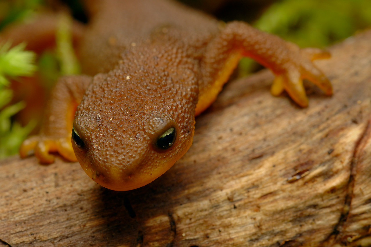 Rough-skinned Newt can be found on Vancouver Island.