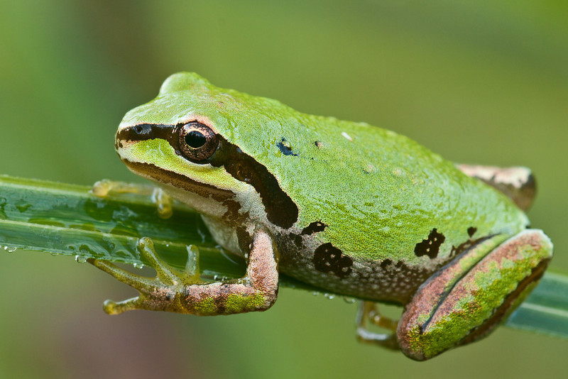 Pacific Chorus Frog, small enough to cling to a blade of grass.