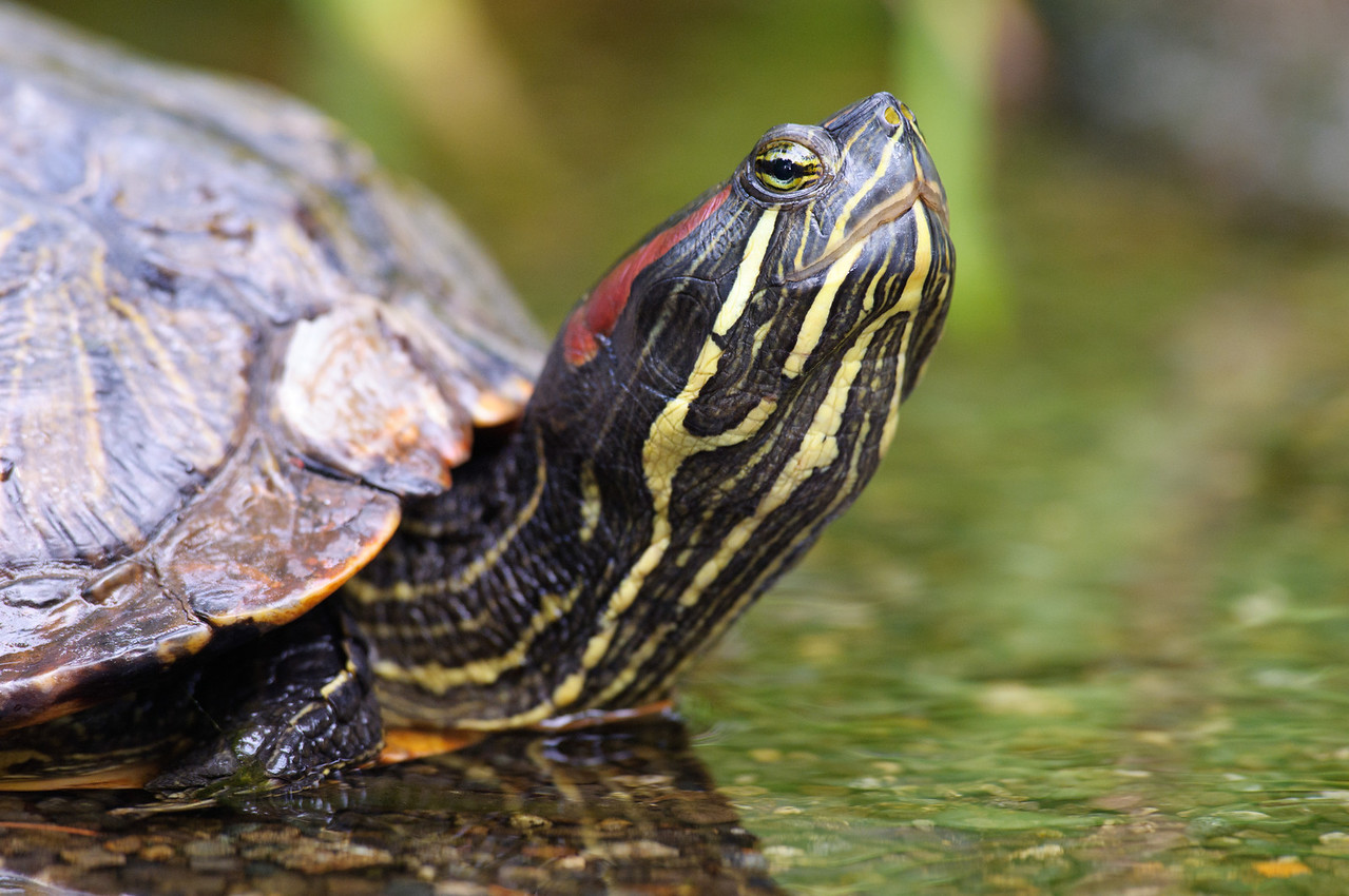 Red Eared Slider, this was found walking across the road.