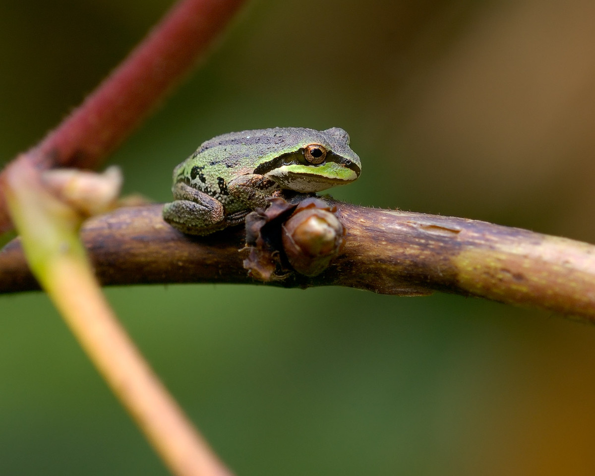 Small tree frog sunning after the morning hunt.