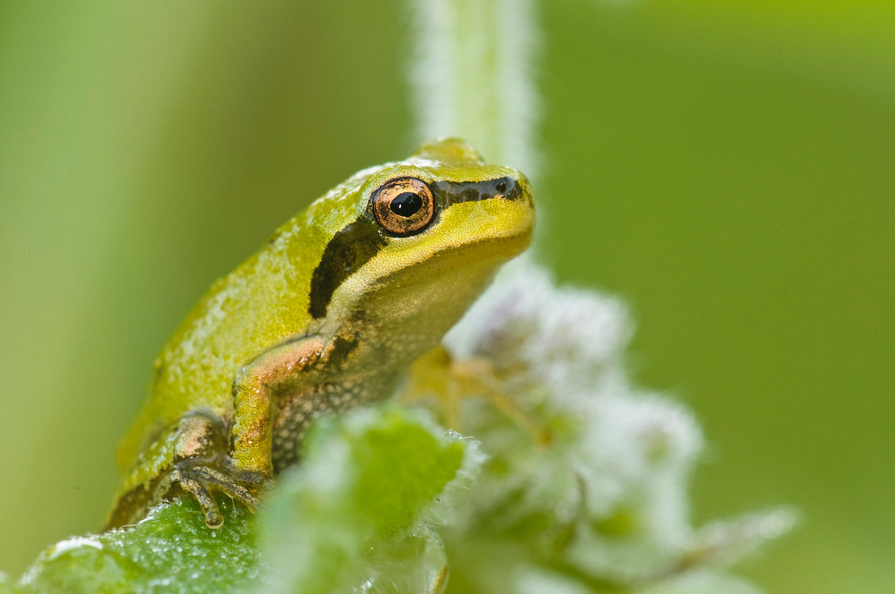 Pacific Treefrog hunting on some wild Mint.