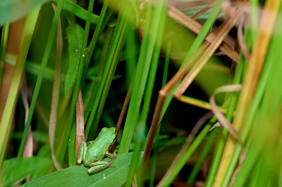 Tree frog in the grass.