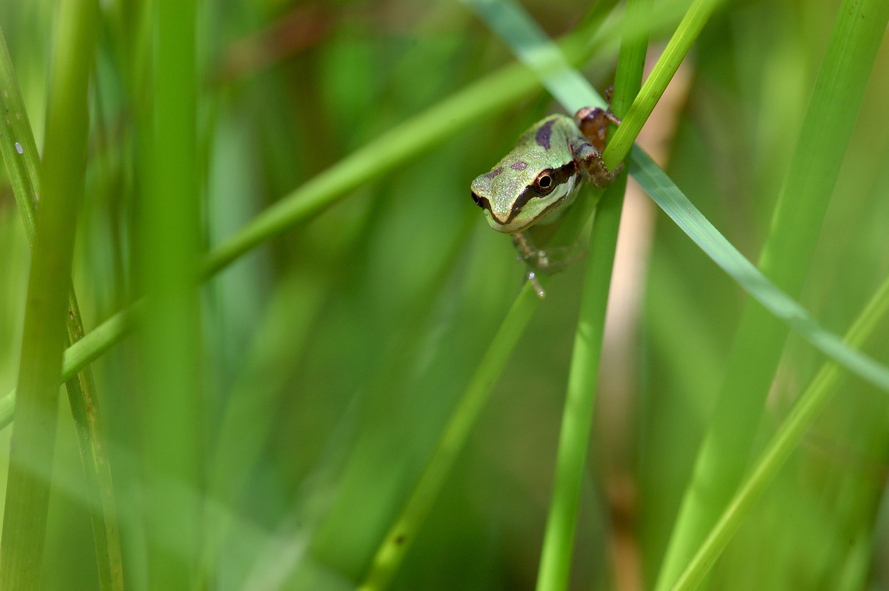 Tree frogs are common on Vancouver island.