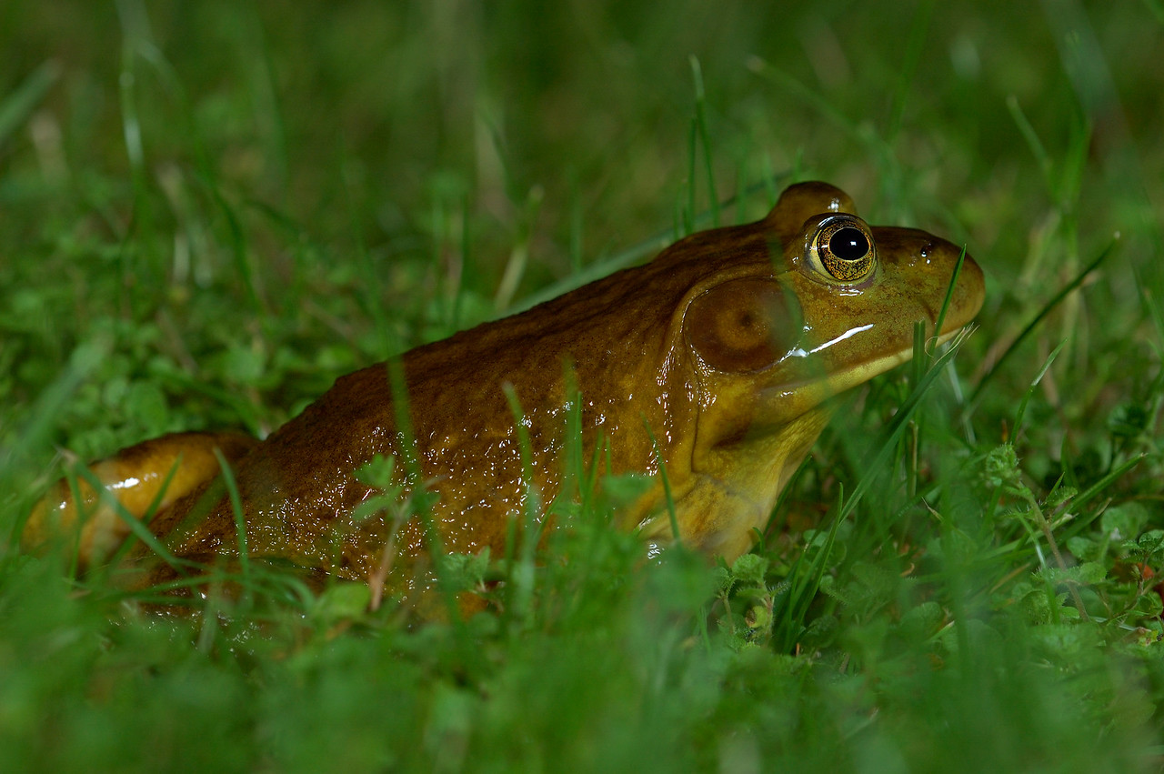 American Bullfrog found in Black Creek.