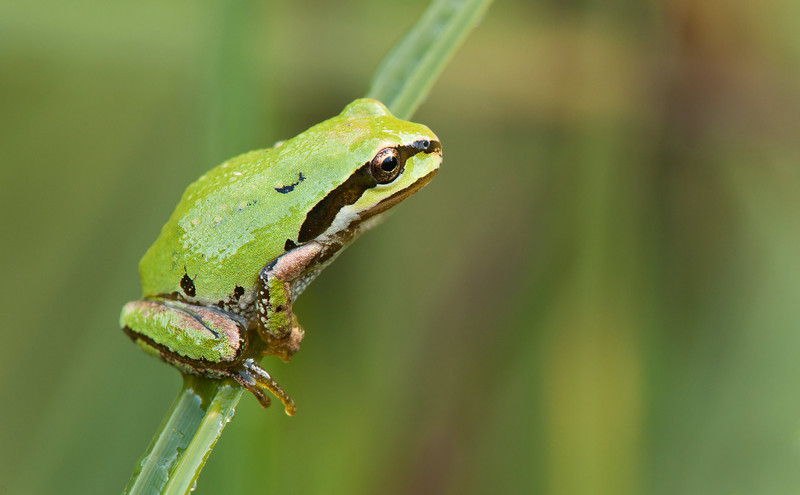 Pacific Chorus Frog on a blade of swamp grass.