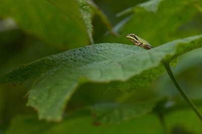 Tree frog on thimble berry leaf.