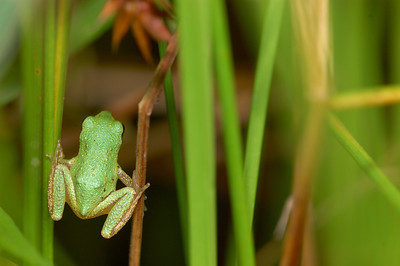 Tree frog hunting in the swamp grass.