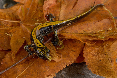 Long-toed Salamander, Black Creek.