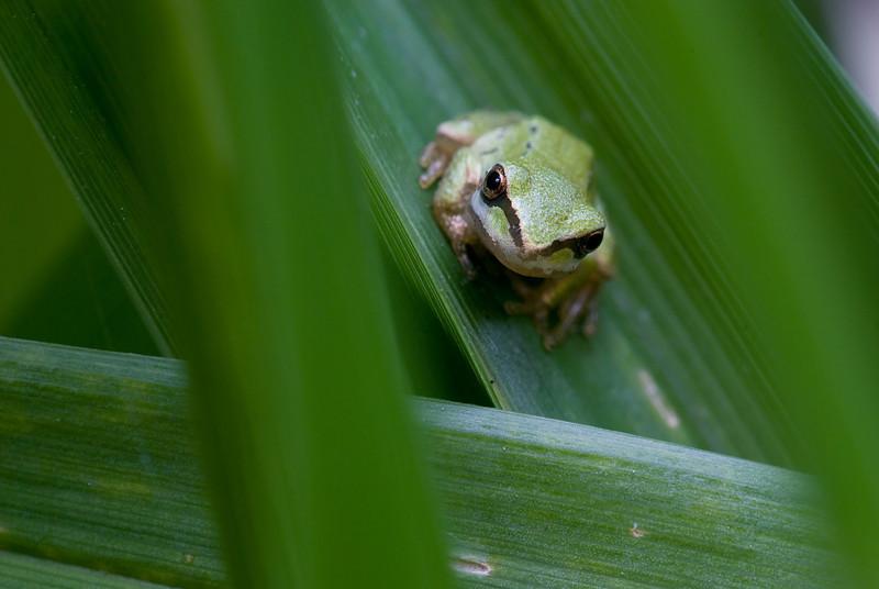 Tree frog framed by grass blades