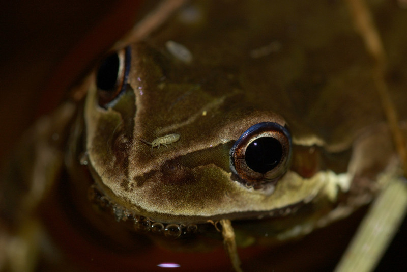 Pacific Treefrog, in the pond.
