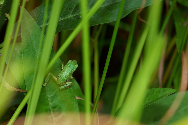 Tree frog hunting in the swamp.