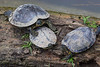 Turtles4164
