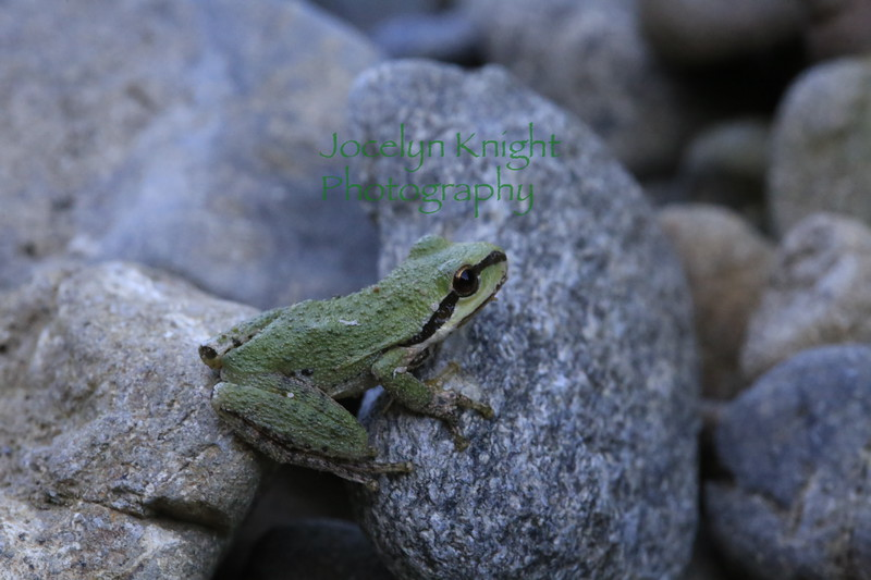 Pacific Chorus Tree Frog in Gualala River, Mendocino County, Calif., in July, 2016