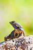 Lizard9555