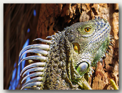 Rather large iguana on Grand Cayman