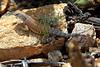 Lizard3599