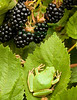 Pacific Chorus Tree Frog hides in a blackberry bramble in Bolinas, Calif.