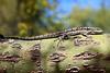 Lizard3375