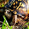 042908 Eastern Box Turtle (Terrapene carolina carolina)