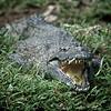 Nile Crocodile (Crocodylus niloticus)<br /> Near Mombasa, Kenya<br /> IUCN Status: Least Concern