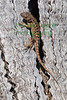 AlligatorLizard5750