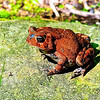 Smoky Mountains Red Toad, Rich Mountain Loop