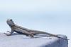 Lizard6398