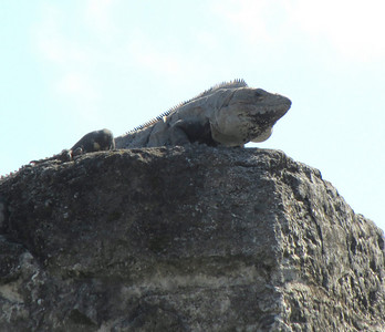 This iguana seemed to be guarding the entrance to the Column Structure.