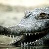 African Slender-snouted Crocodile (Crocodylus cataphractus)<br /> San Diego Zoo, San Diego, USA<br /> IUCN Status: Data Deficient