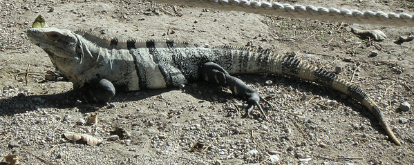 Large iguanas are common at San Gervasio