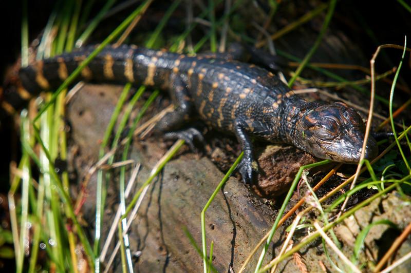 American Alligator (Alligator mississippiensis)<br /> Marrero, Louisiana, USA<br /> IUCN Status: Least Concern