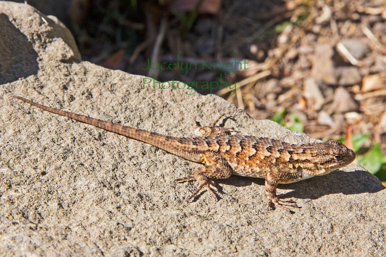 Lizard4799