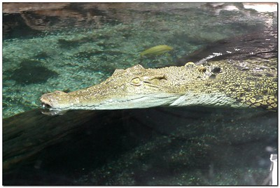Crocodile (capative) in New Zealand